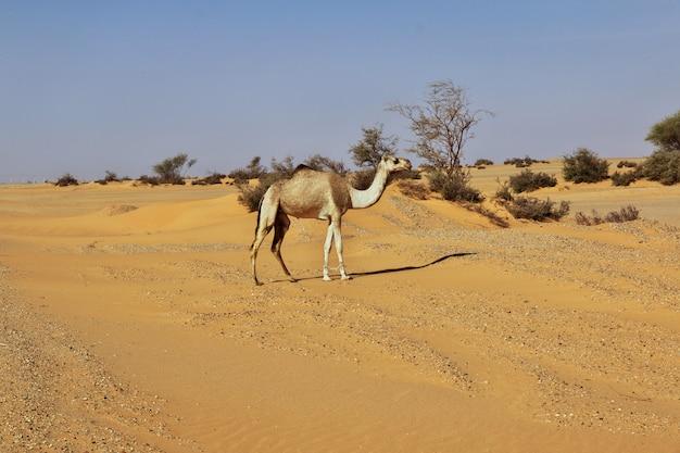 Das kamel in der sahara-wüste