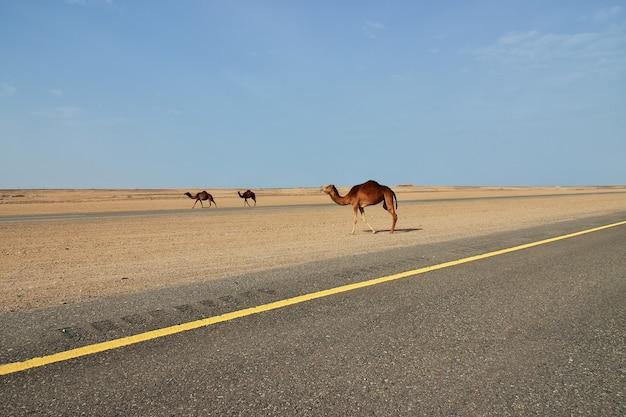 Das kamel in der wüste