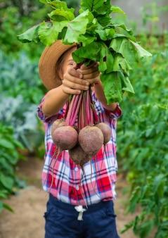 Das kind hält die rüben in den händen im garten. selektiver fokus. essen.