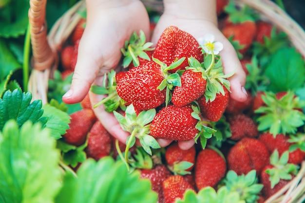 Das kind sammelt erdbeeren im garten. tiefenschärfe.