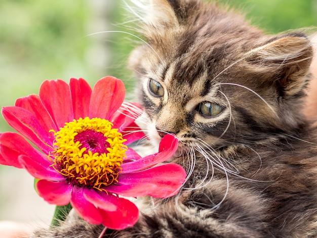 Das kleine flauschige kätzchen schnüffelt an der blume von zinnie und genießt das aroma der blume