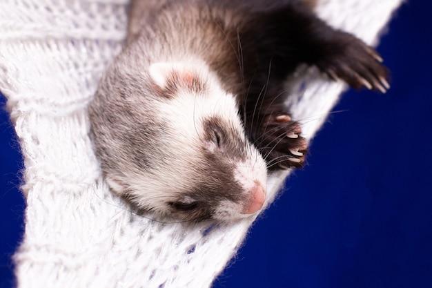 Das kleine frettchen schläft