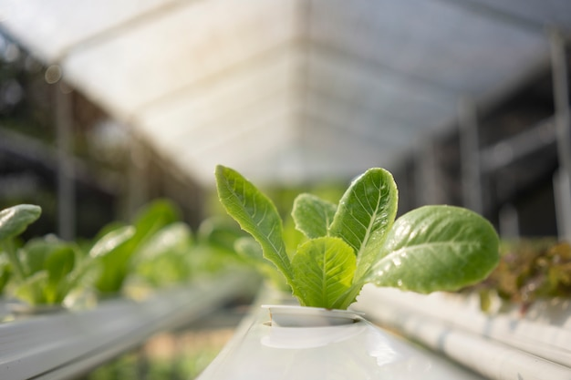 Das kraut des organischen gemüses ist im gewächshaus