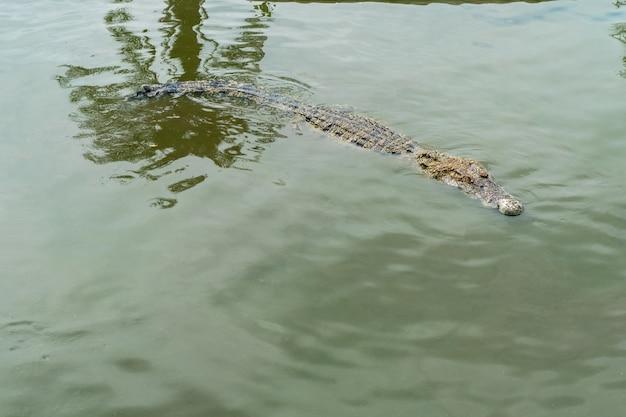 Das krokodil schwimmt über dem wasser. es ist fleischfressend und wild