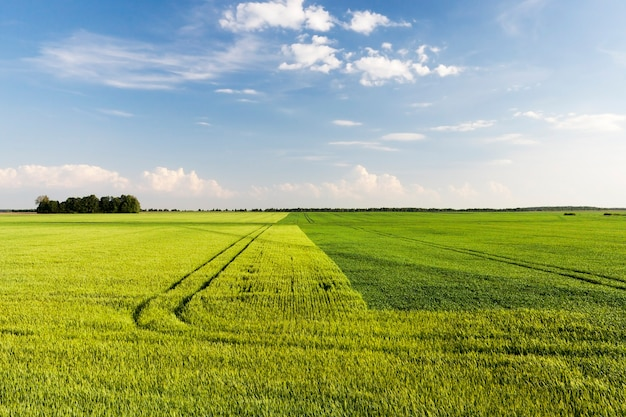 Das landwirtschaftliche feld ist durch eine gerade linie in zwei hälften geteilt, auf denen zwei getreidesorten wachsen - weizen und roggen