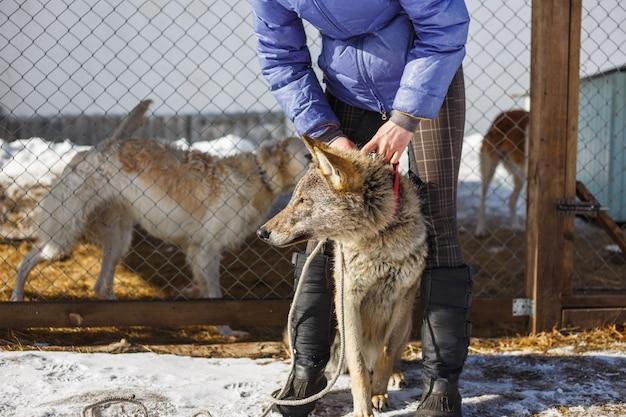 Das mädchen mit dem grauen wolf in der voliere mit hunden und wölfen