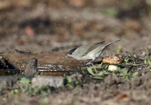 Das männchen und weibchen der eurasischen mönchsgrasmücke (sylvia atricapilla) sind nahaufnahmen auf schwarzen holunderbüschen und in der nähe des wassers im sanften morgenlicht.