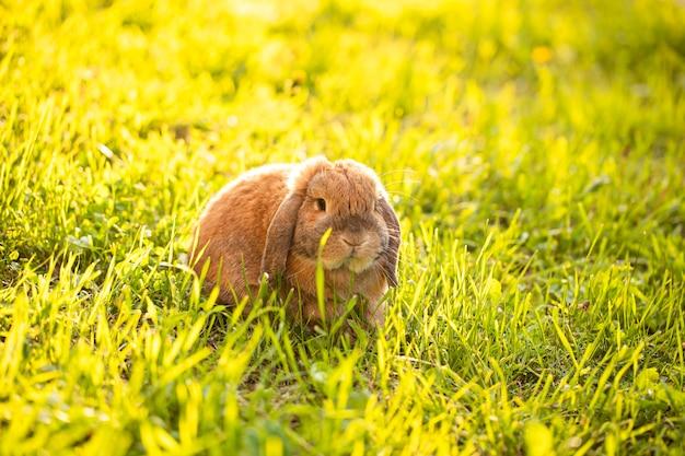 Das mini-lop-kaninchen sitzt im gras.