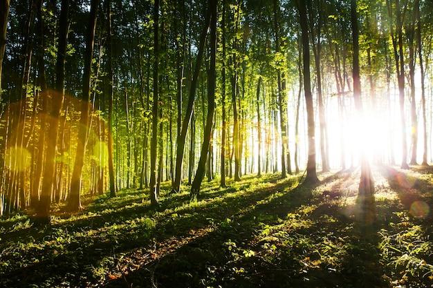 Das morgenlicht der sonne zieht durch den wald
