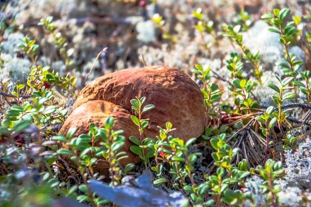 Das penny-brötchen (amanit) eine nahaufnahme in der natur. jamal.