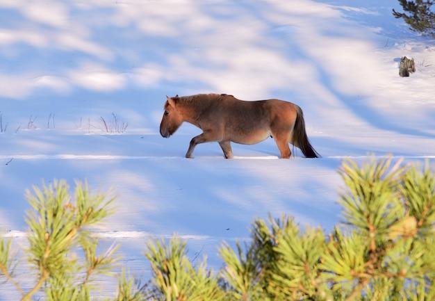 Das pferd läuft im tiefschnee