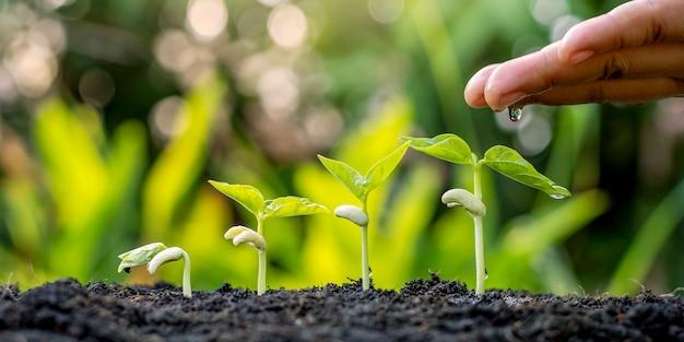 Das pflanzen oder umpflanzen von sämlingen umfasst die manuelle pflege von pflanzen durch gießen der wachsenden sämlinge in der reihenfolge ihrer keimung auf fruchtbarem boden