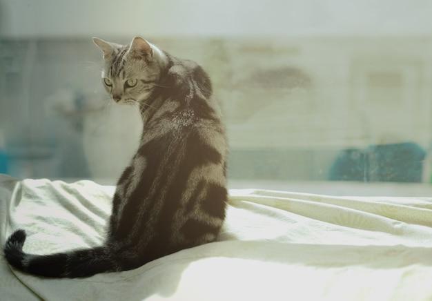 Das porträt der inländischen amerikanischen katze des kurzen haares züchten das sitzen auf dem bett.