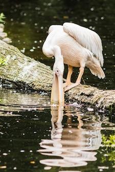 Das porträt des pelikans mit rosa rücken oder pelecanus rufescens