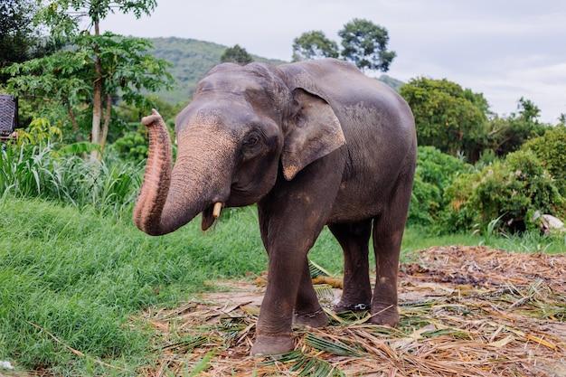 Das porträt des schönen thailändischen asiatischen elefanten steht auf der grünen wiese elefant mit geschnittenen stoßzähnen