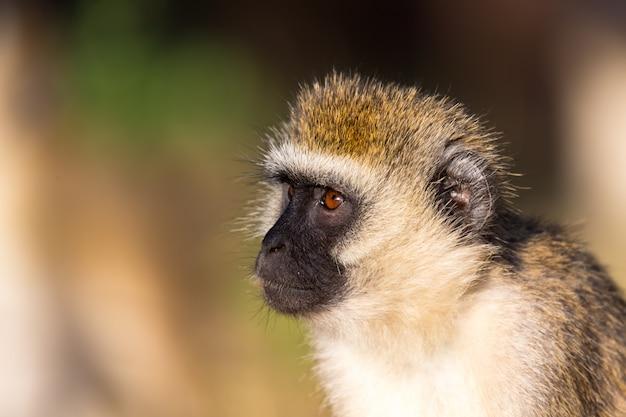 Das porträt eines affen in der savanne von kenia