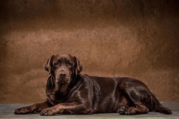 Das porträt eines braunen labrador retriever-hundes