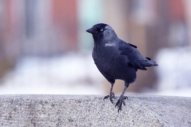 Das porträt eines vogels dohlen