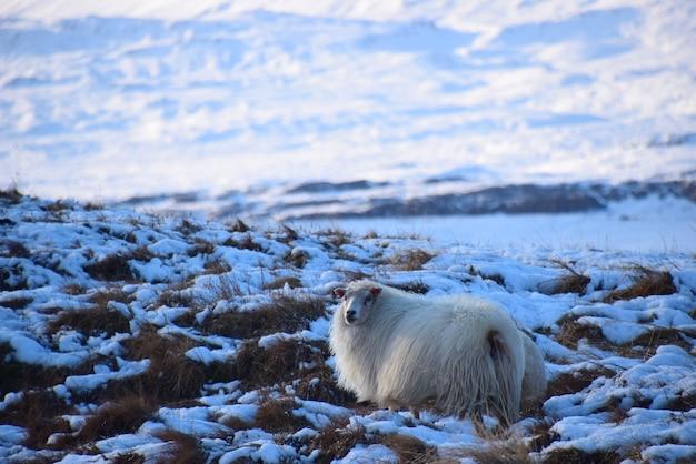 Das porträt von flauschigen schafen im schnee bedeckte land im winter in island.