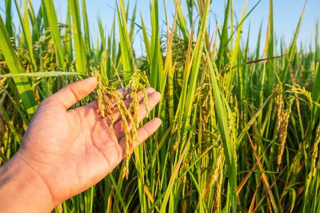 Das reisfeld in den händen der landwirte