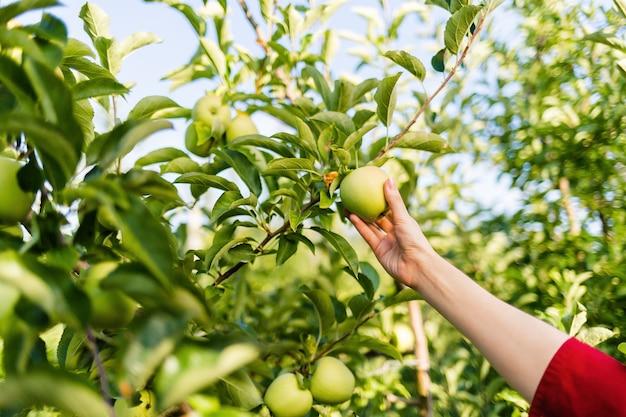 Das sammeln der früchte. die hand einer frau reißt einen grünen apfel von einem ast.