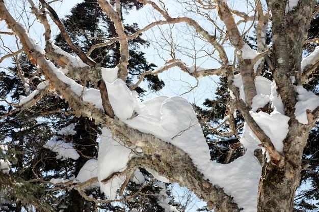 Das schneewittchen auf den bäumen mit blauem himmel. wintersaison