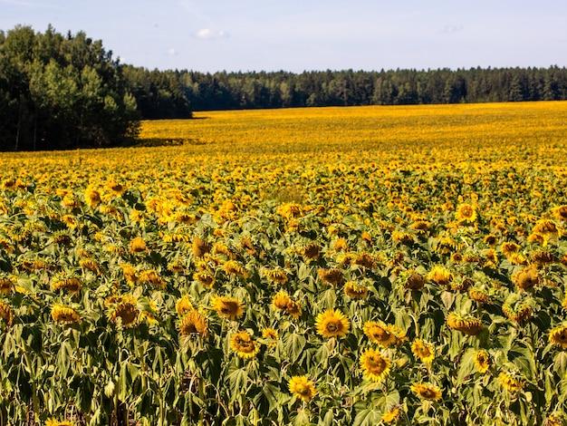 Das schöne große sonnenblumenfeld im sommerhintergrund