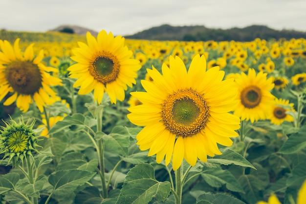 Das schöne sonnenblumenfeld.