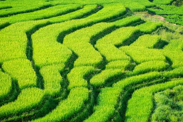 Das schöne von grünen terassenförmig angelegten reisfeldern.