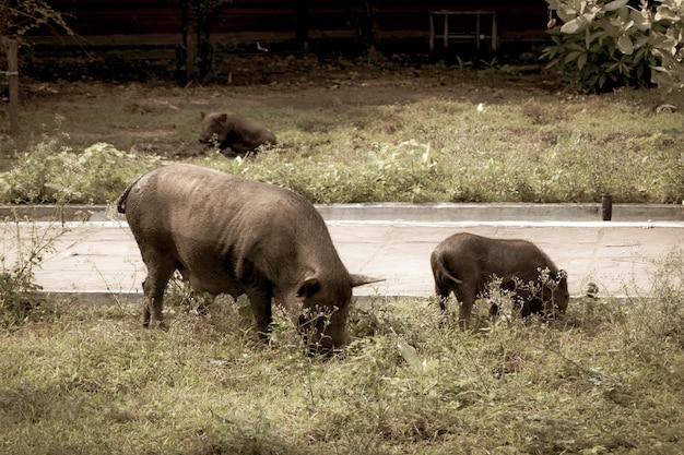 Das schwein geht spazieren, um gras zu essen