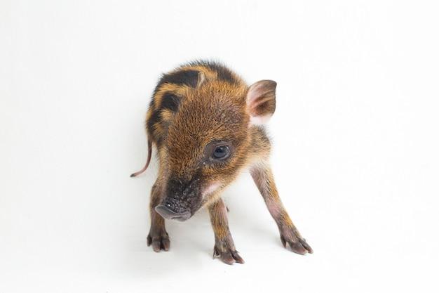 Das schwein mit dem babyband (sus scrofa vittatus), auch als indonesisches wildschwein bekannt. das schwein mit dem babyband (sus scrofa vittatus), auch als indonesisches wildschwein bekannt