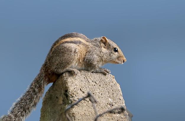 Das srilankische palmeneichhörnchen sitzt auf dem zaun. das tier ist auf einem unscharfen hintergrund in blautönen isoliert