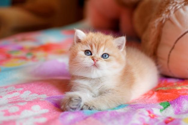 Das süße kätzchen british golden chinchilla liegt auf dem sofa