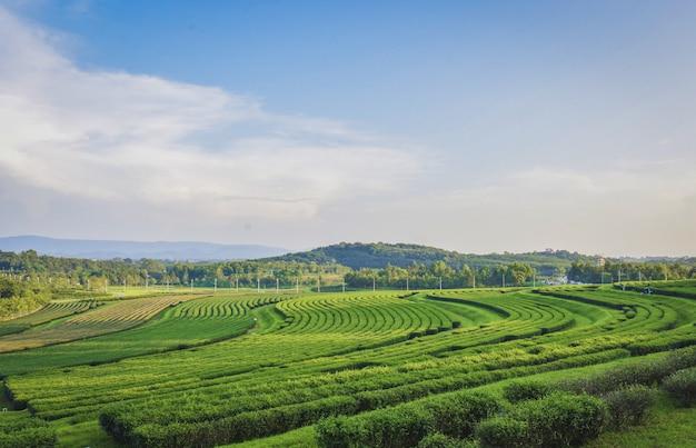 Das tea garden view befindet sich in sing park, provinz chiang rai.