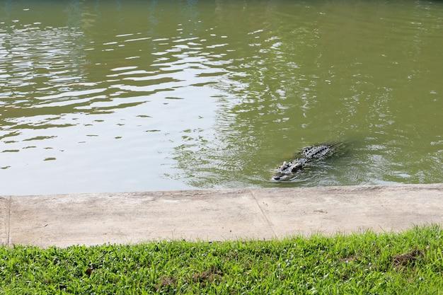 Das thailändische krokodil schwimmt auf dem fluss nahe kanal