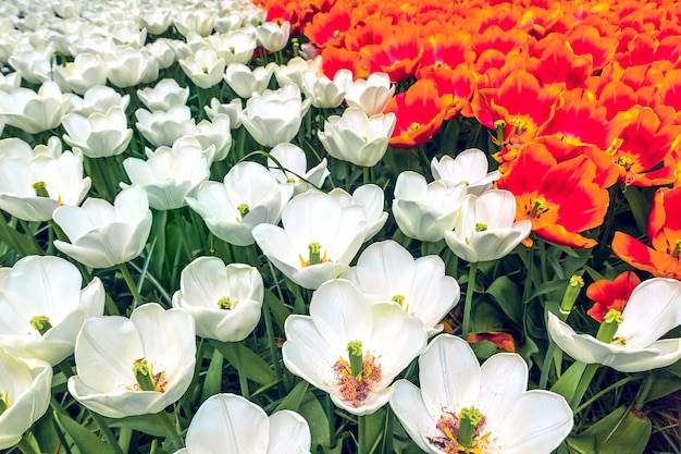 Das tulpenfeld im keukenhof-blumengarten, lisse, niederlande, holland
