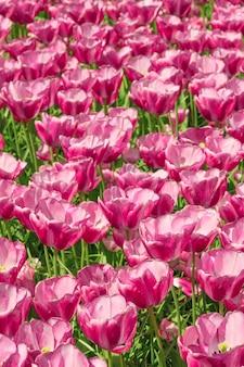 Das tulpenfeld in den niederlanden