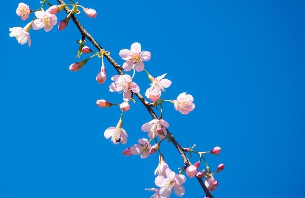 Das unscharfe der prunus cerasoides blume auf blauem himmel. rosa kirschblüte thailand