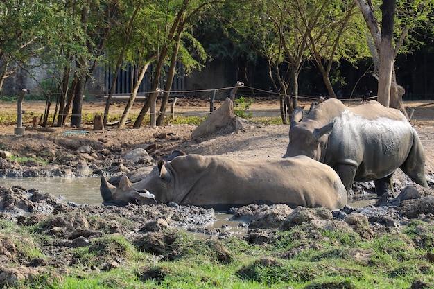 Das weiße nashorn ist säugetier und tierwelt im garten