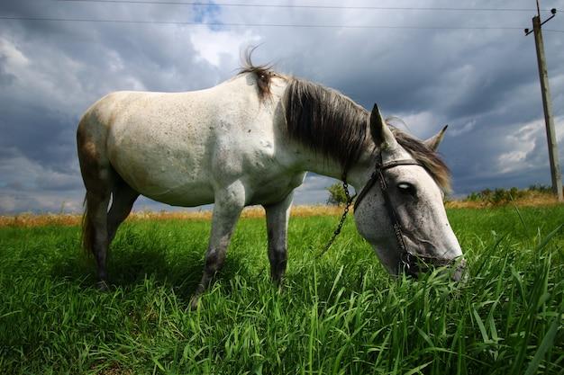 Das weiße pferd weidet im gras