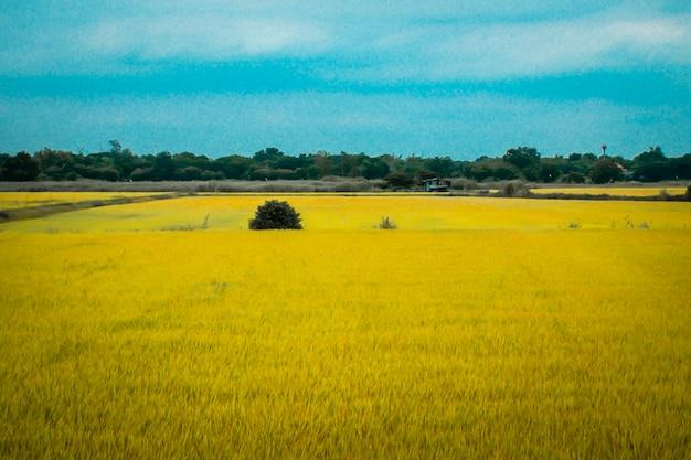 Das weite feld der goldenen pflanzen. sommerlandschaft gelbes feld wiese und blauer himmel