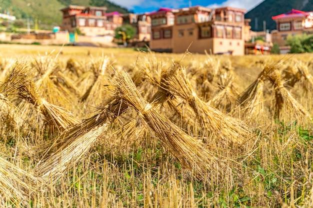 Das weizenfeld in einem kleinen abgelegenen tibetischen dorf