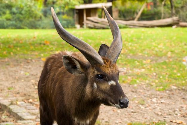 Das wilde tier nyala ist eine spektakuläre antilope. afrikanische antilope.