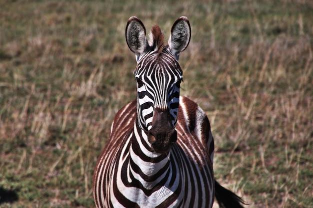 Das zebra auf dem gebiet