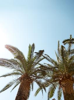 Dattelpalme auf dem hintergrund eines klaren blauen himmels, das konzept des sommers, mockup, der hintergrund für die inschrift. platz kopieren.
