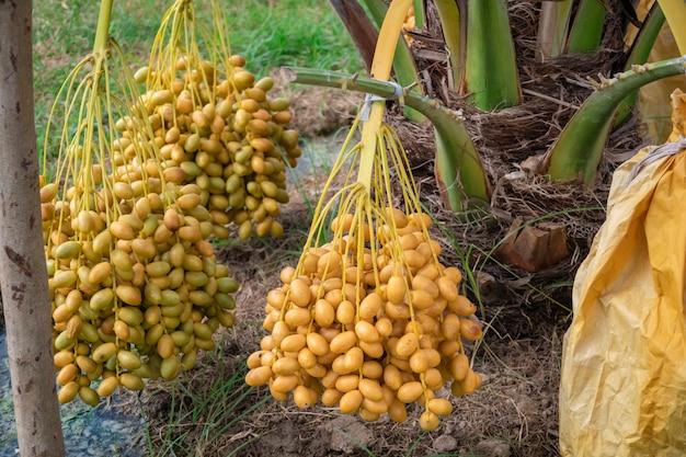 Dattelpalmen, die einen wichtigen platz in der fortschrittlichen wüstenlandwirtschaft einnehmen. ernte, dattelpalme. rohes fruchtwachsen der dattelpalme (phoenix dactylifera) auf einem baum.