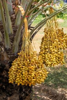 Dattelpalmen tragen auf einem dattelpalmenbaum früchte. im norden von thailand gewachsen