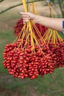 Dattelpalmen tragen in der hand auf einem dattelpalmenbaum früchte. im norden von thailand gewachsen