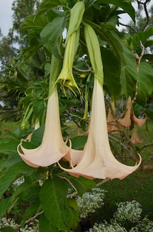 Datura-Blume