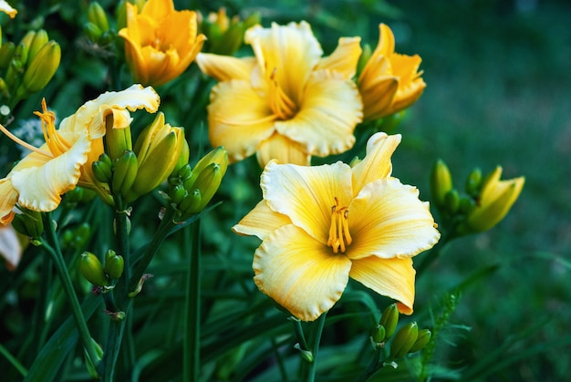 Daylily mary's gold - gelbe hemerocallis-pflanze, die im garten blüht